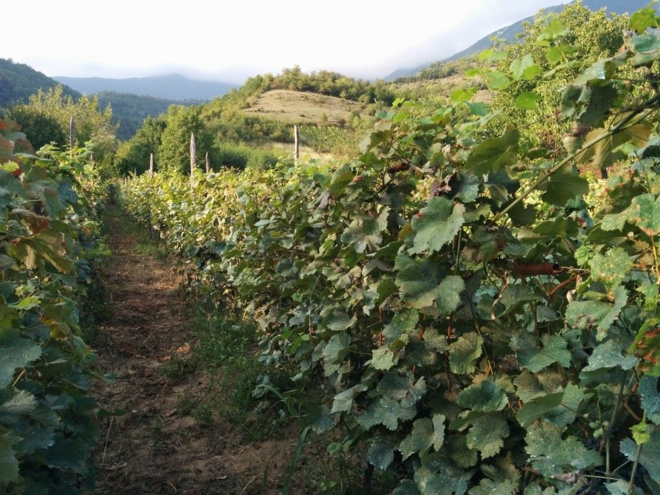 Georgian vineyards